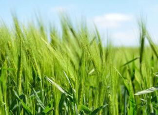 Jak dobrać odmianę pszenicy odpowiednią do uprawy